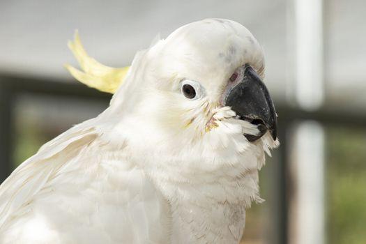 Close up of a white cockatoo.