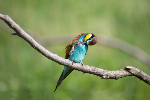 Bee-eater (Merops apiaster) washing on brunch - tropical colours bird, Isola della Cona, Monfalcone, Italy, Europe