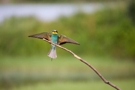 European Bee-eater with dragonfly flying (Merops apiaster) on brunch - tropical colours bird, Isola della Cona, Monfalcone, Italy, Europe