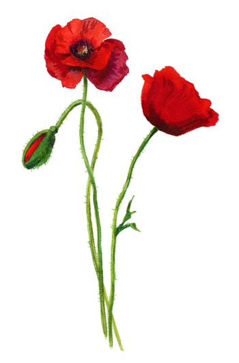 Watercolor red poppies bouquet. Hand painted floral illustration. Beautiful bright flowers