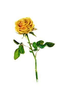 Yellow Rose . Watercolor Painting.