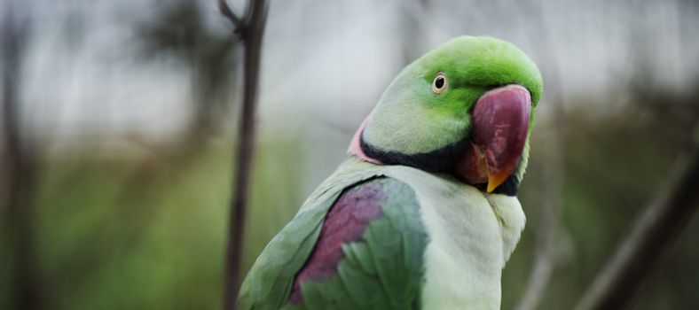 Close up of a large green King Parrot