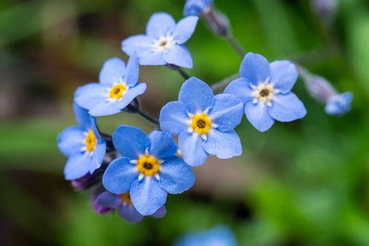Myosotis scorpioides which is also called Forget Me Not