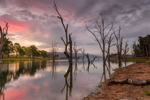 Beautiful gnarled dead trees stand steadfast in the lake as the sun sets.