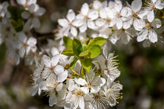 Little white flowers on tree in nature in spring.