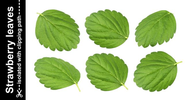Strawberry leaves isolated on white background with clipping path
