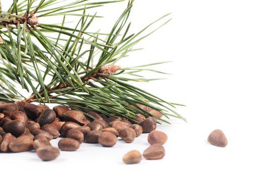 Cedar tree branch with cones and nuts