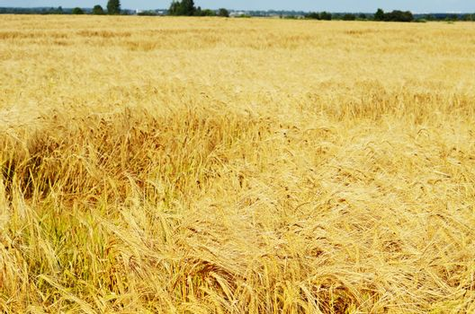 Field with ripe rye in the fall