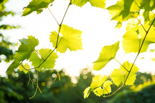 Young Grape Vine on the Bright Background in Bright Sun Rays
