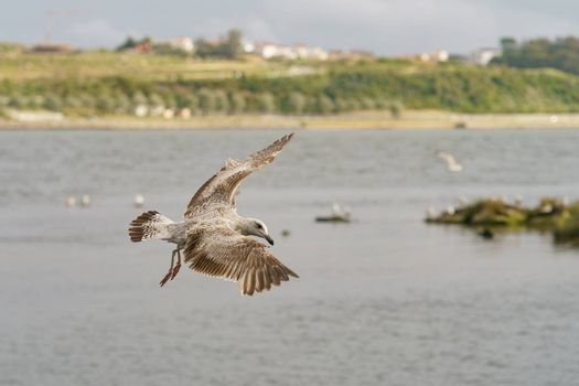 A seagull hovering over the river