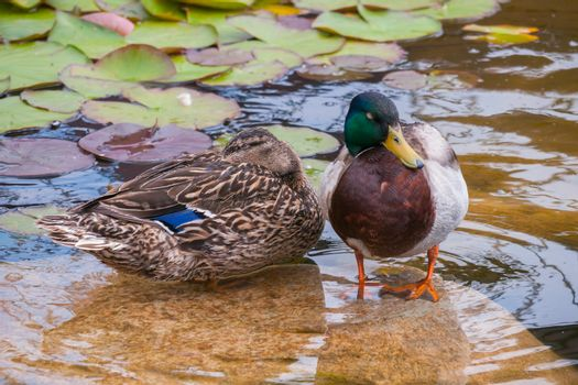 Waterfowl ducks sit on a rock in the middle of a transparent orn