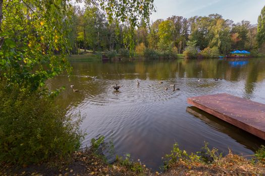 Waterfowl ducks in the middle of the lake near the shore with a
