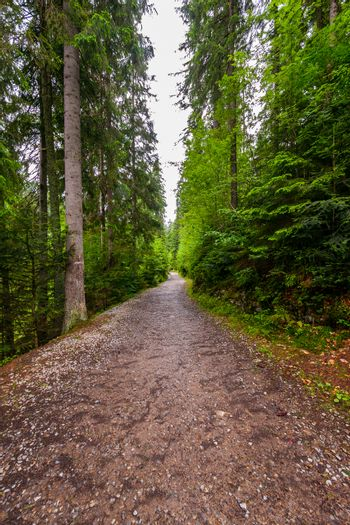 Quirky narrow forest road in the depths of green high coniferous trees