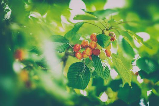 Tasty sweet cherries