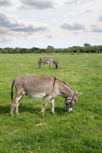 two donkeys grazing in a field at county kerry ireland
