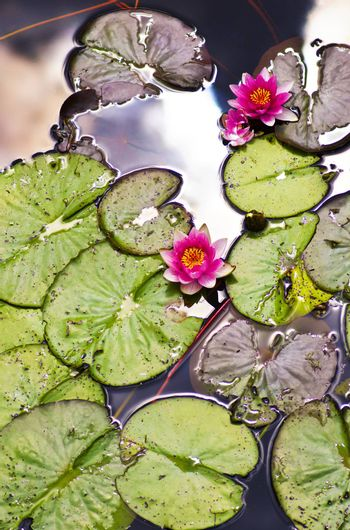 Beautiful Pink Water Lilies between Leafs and Sky Reflection on Water closeup Outdoors. Focus on Lily