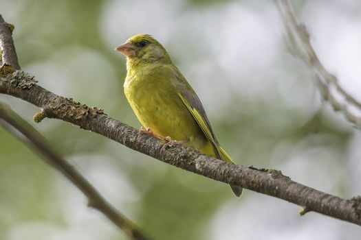 Male Greenfinch Sitting on Tree Branch.