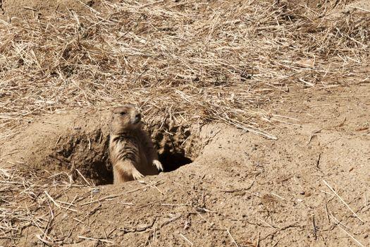 Prairie Dog Looking