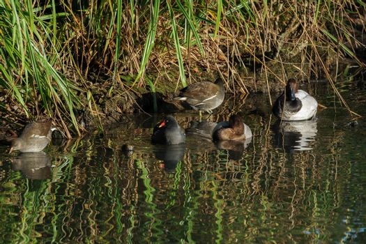Assorted Waterfowl at the London Wetland Centre
