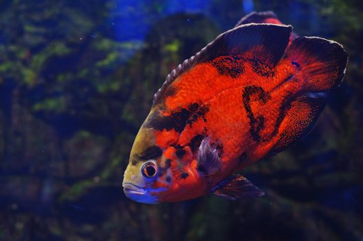 Red and black fish float in water