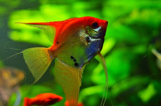 Flat, beautiful silver fish with a long fin