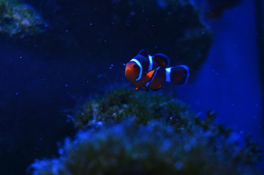 The clown fishes float among the stones