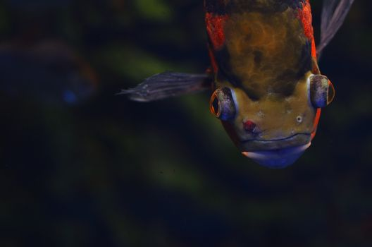The terrible fish with eyebrows is floating