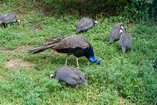Male peacock and few pheasants