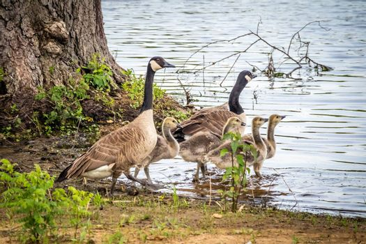 A family of Canadian Geese taking a stroll in the garden of Katy Allen Lake, Nevada