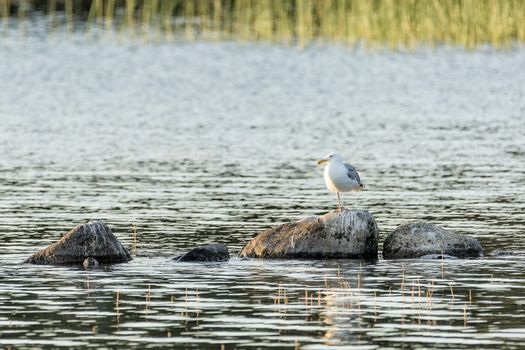 Two Common Gull in Water Standing on Rock.