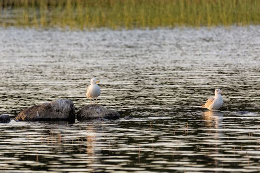 Two Common Gulls in Water with Rocks.