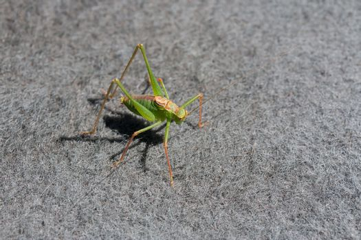 Speckled Bush Cricket Male