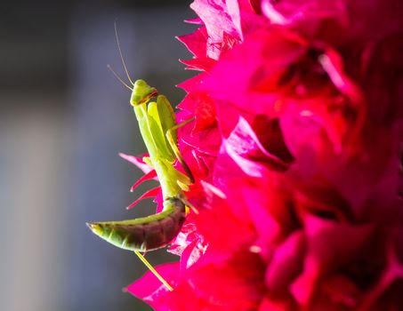 Macro shot of a praying mantis on a pink Bougainvillea
