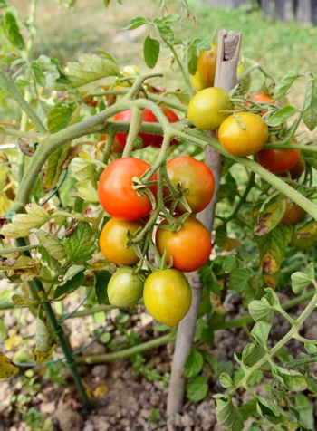 Tomato plant truss with green, yellow and red fruit