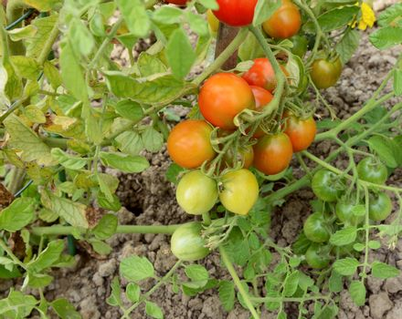 Truss of ripening tomatoes