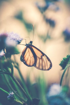Glasswinged butterfly on the flower