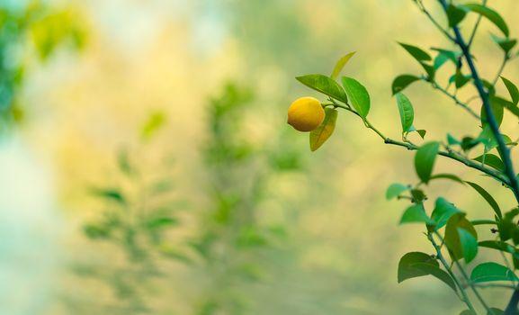 Lemon trees garden