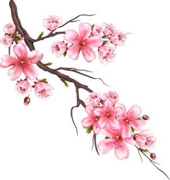 Flowering branch of an sakura tree on a white background. Pink flowers on a tree branch. Japanese cherry blooming.