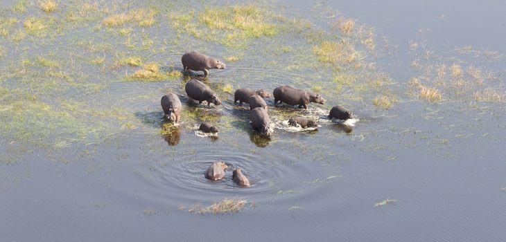 Aerial view of Hippopotamus (Hippopotamus amphibius) in the wate