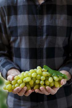 white grapes in farmer's hands
