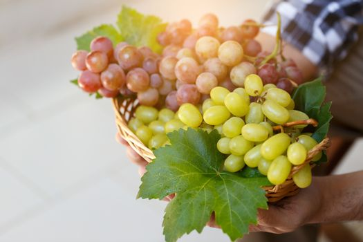 grapes in farmer's hands