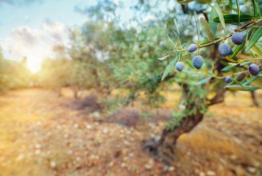 Olive trees garden