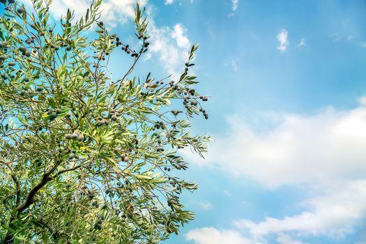 Olive tree over blue sky