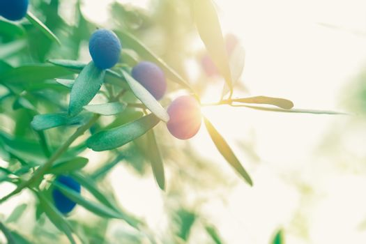 Fresh ripe olives on the branch