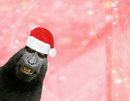 Christmas background a funny chimpanzee monkey wearing a santa claus bonnet isolated on a light red pinkish background with glitters and stars