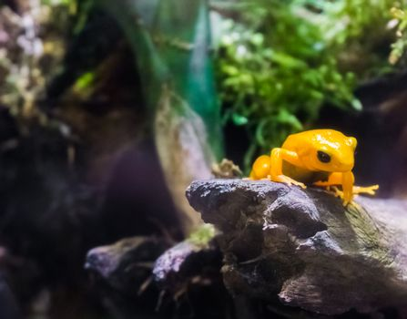 Yellow poison dart frog sitting on a branch very dangerous poisonous small tiny amphibian from america