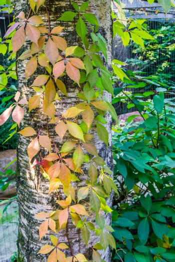 autumn seasonal nature background a birch tree trunk growing leaves in many different vivid colors