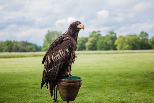 wilde brown eagle in outdoor nature