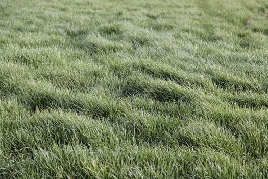 Fresh grass, detail of a green field, nature