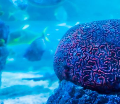 amazing beautiful underwater aquatic sea landscape background of a red brain coral in close up with swimming fish in the background